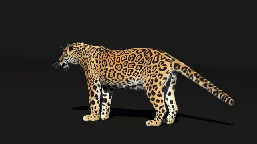 Panthera onca royalty-free 3d model - Preview no. 6