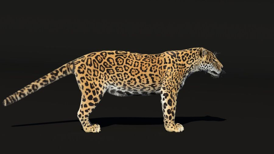 Panthera onca royalty-free 3d model - Preview no. 4