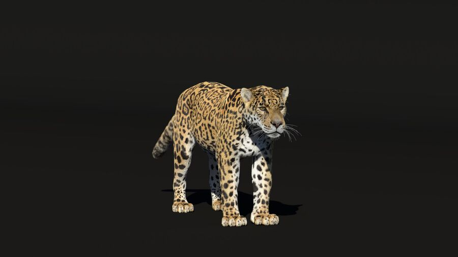 Panthera onca royalty-free 3d model - Preview no. 3
