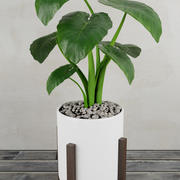 Alocasia home plant 3d model