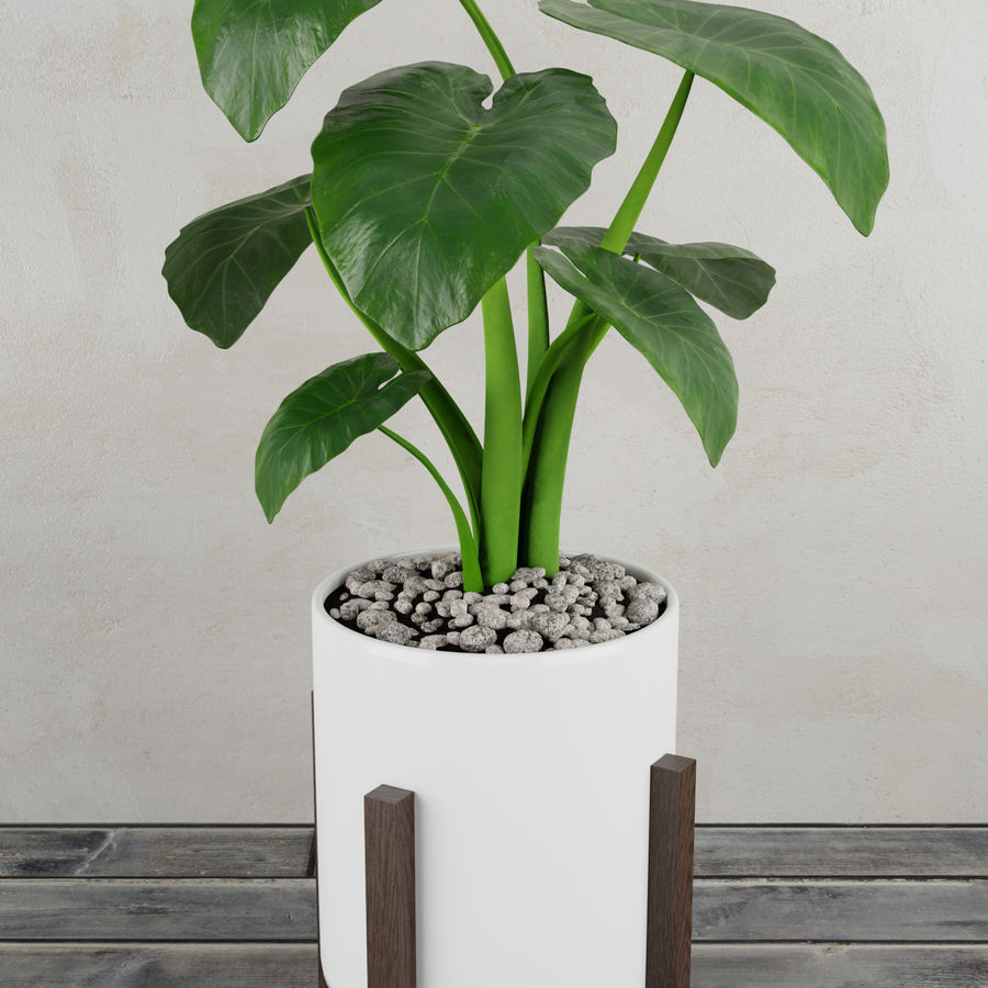 Alocasia home plant royalty-free 3d model - Preview no. 1