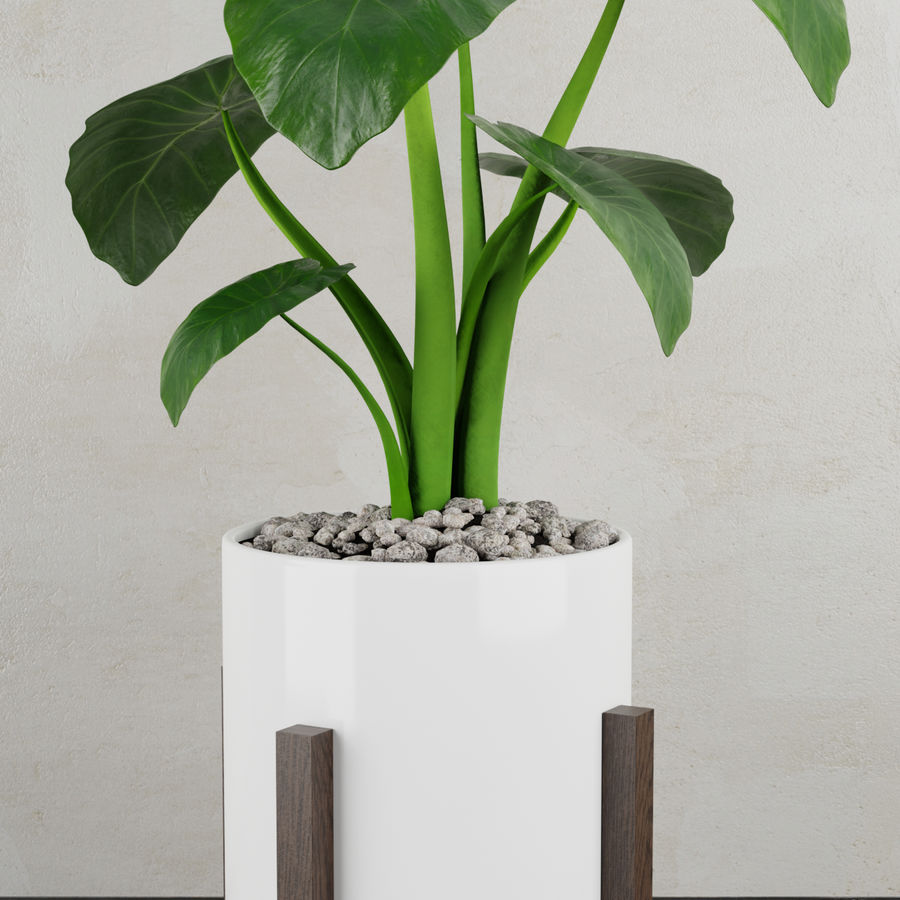 Alocasia home plant royalty-free 3d model - Preview no. 2
