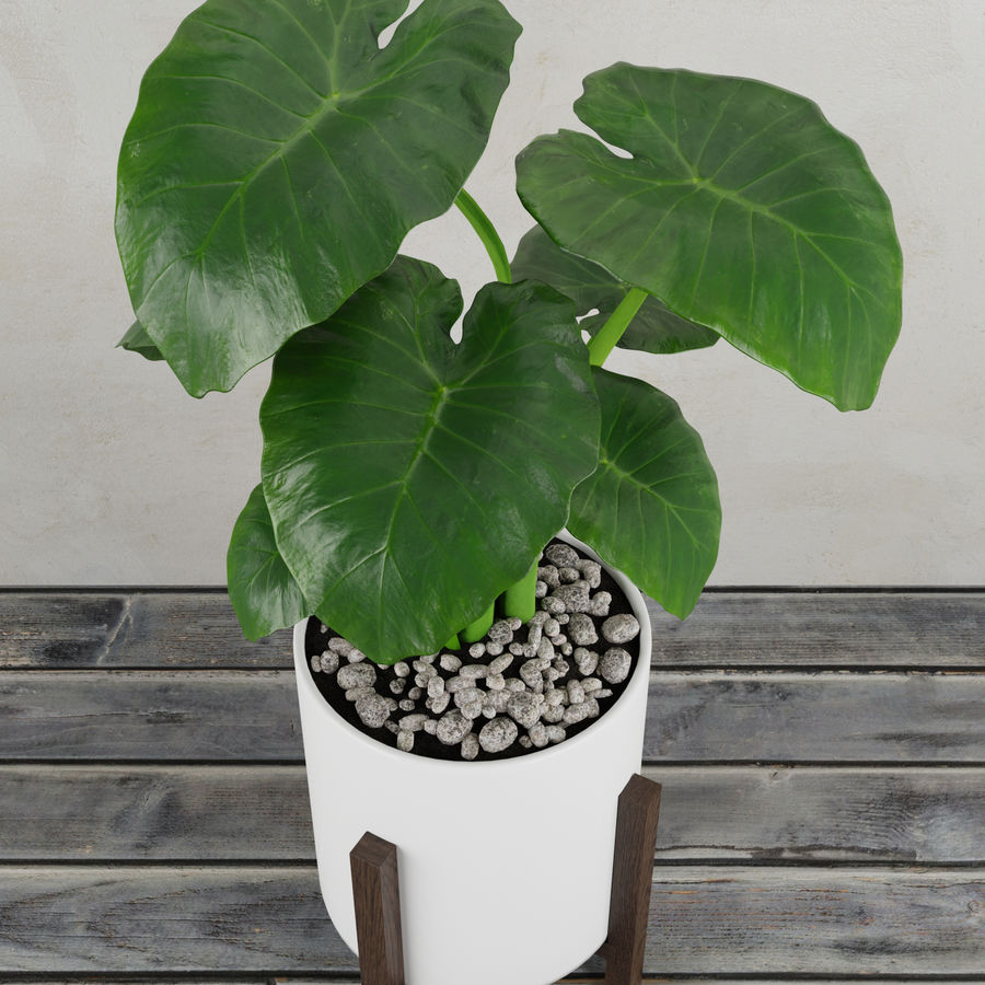 Alocasia home plant royalty-free 3d model - Preview no. 3