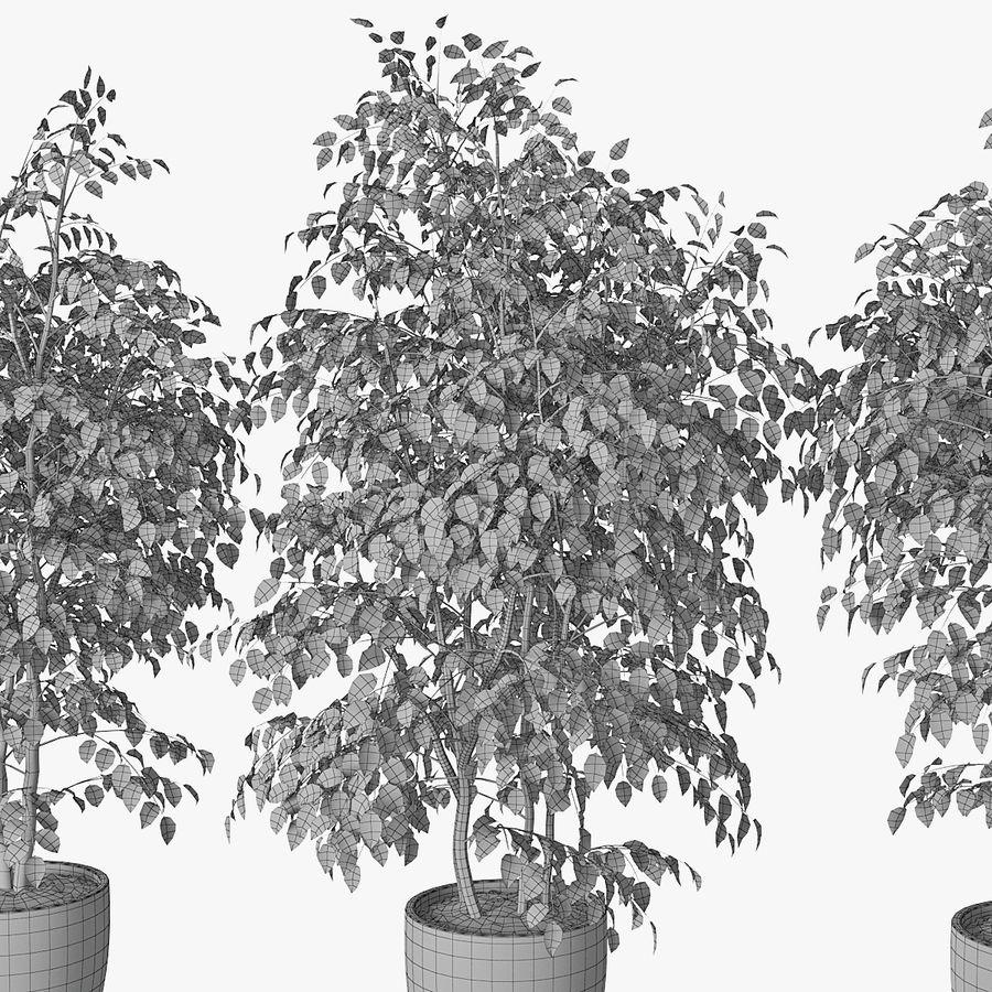 Ficus benjamin 07 royalty-free 3d model - Preview no. 1