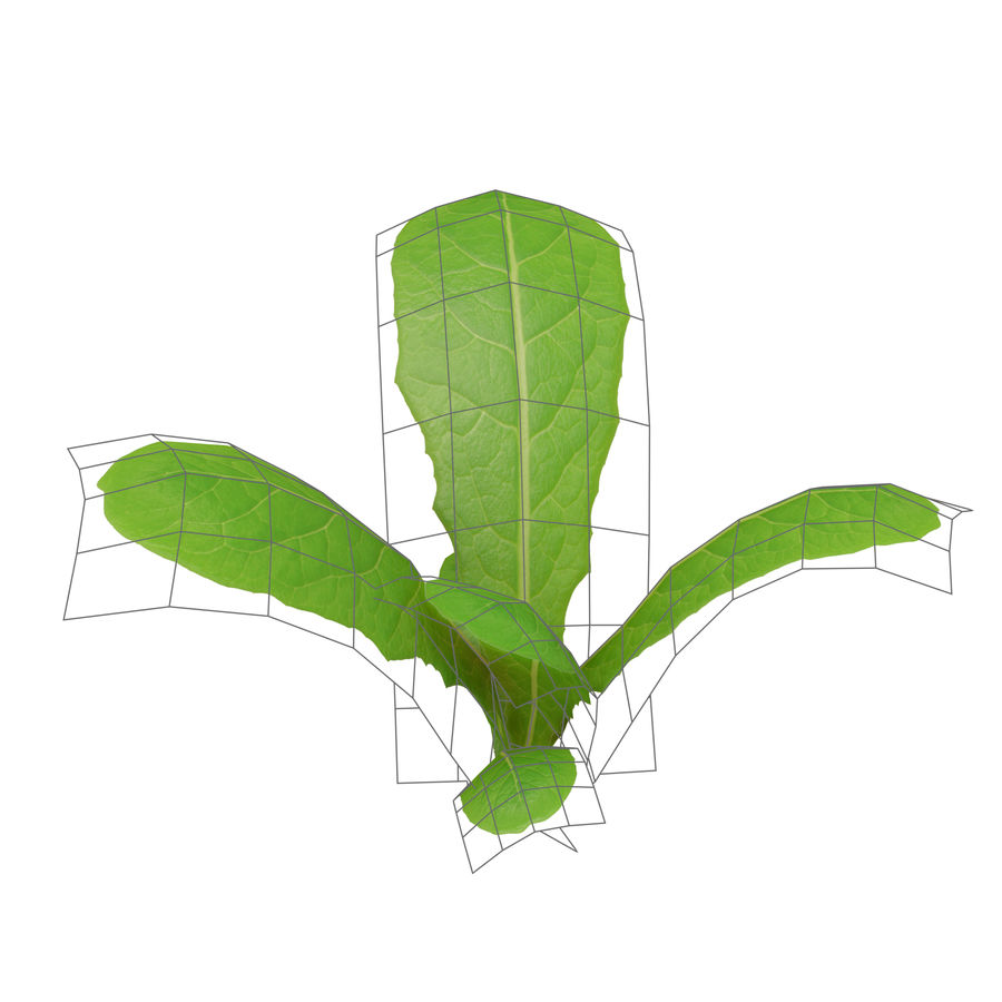 Young lettuce royalty-free 3d model - Preview no. 8