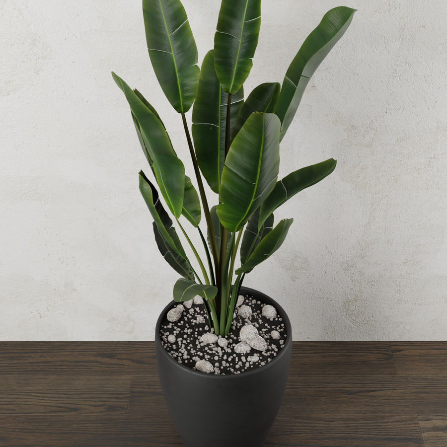 Pot Plant Strelitzia royalty-free 3d model - Preview no. 3