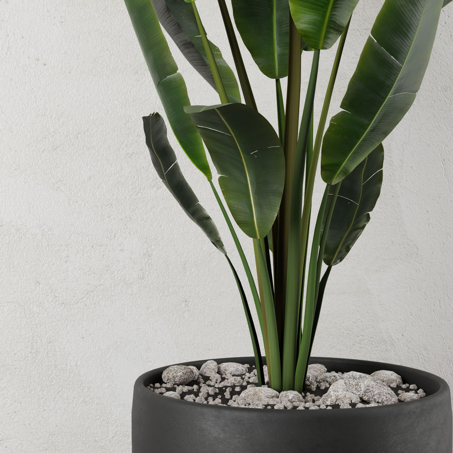 Pot Plant Strelitzia royalty-free 3d model - Preview no. 4