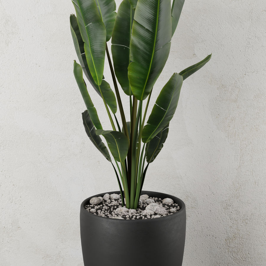 Pot Plant Strelitzia royalty-free 3d model - Preview no. 1