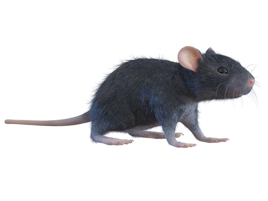 Животная крыса мышь royalty-free 3d model - Preview no. 2
