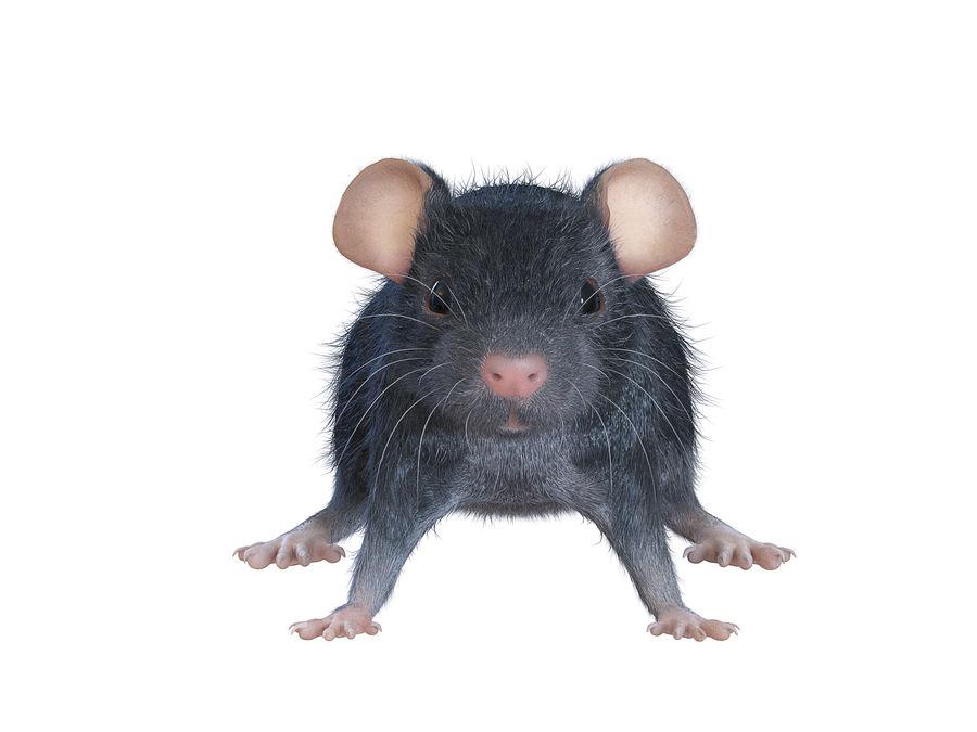 Животная крыса мышь royalty-free 3d model - Preview no. 3