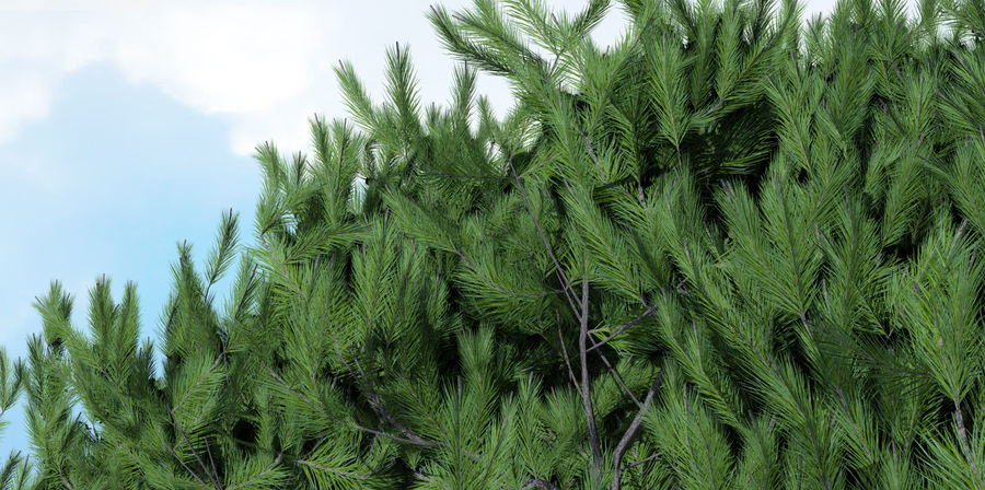 Maritime Pine Trees royalty-free 3d model - Preview no. 1