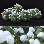 Hortensja Arborescens 3d model