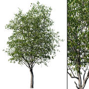 Вишневое дерево 3d model