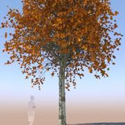 acero acer maturo autunno A 3d model