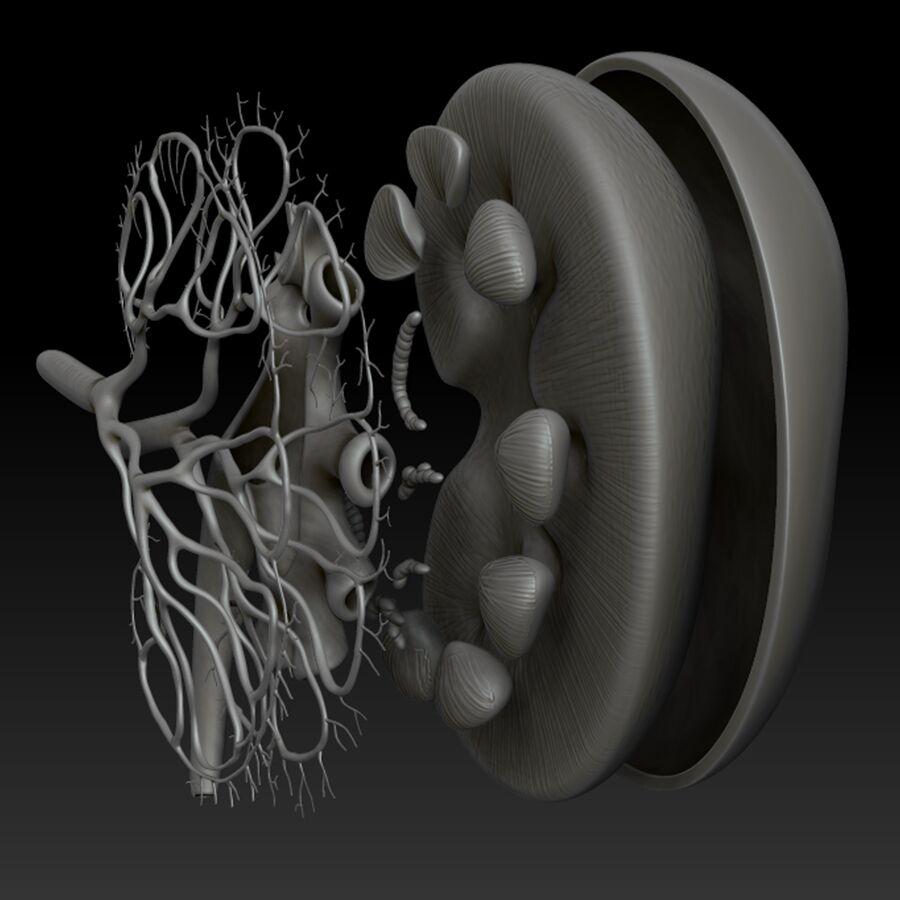 Анатомия почек royalty-free 3d model - Preview no. 11