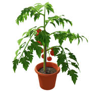 Planta de tomate 3d model