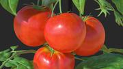 Röd organisk tomatväxt 3d model