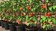 Röd tomatväxt odlad kruka 3d model