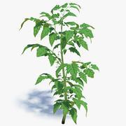 Молодой томатный завод 3d model