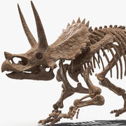 Triceratops Skeleton Fossil Rigged for Maya 3d model