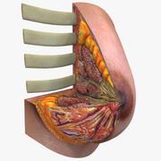 Vrouwelijke borst anatomie 3d model