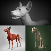 Anatomie et squelette de chien mexicain sans poils 3d model