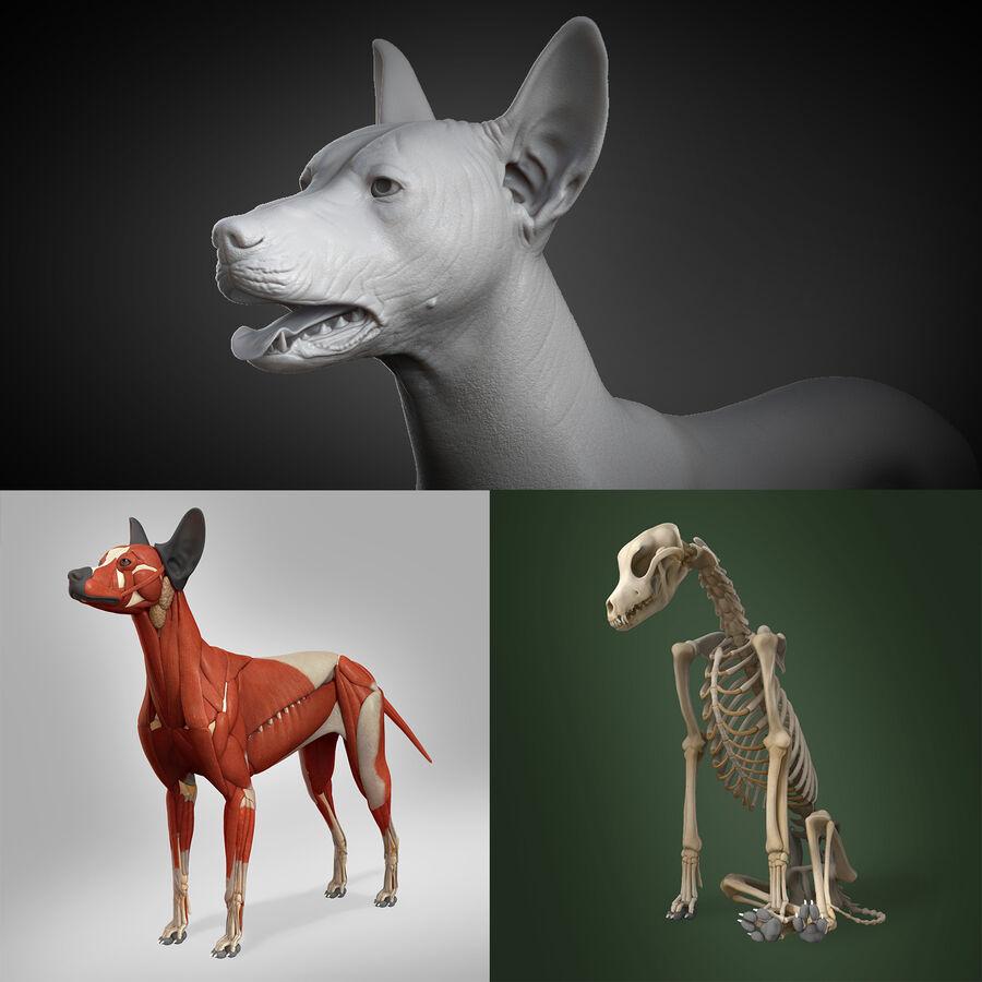 Meksikalı Tüysüz Köpek Anatomisi ve İskeleti royalty-free 3d model - Preview no. 1
