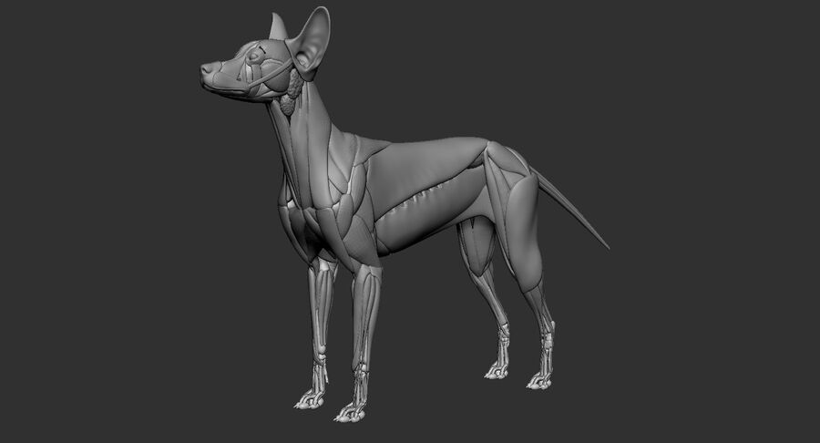Meksikalı Tüysüz Köpek Anatomisi ve İskeleti royalty-free 3d model - Preview no. 31