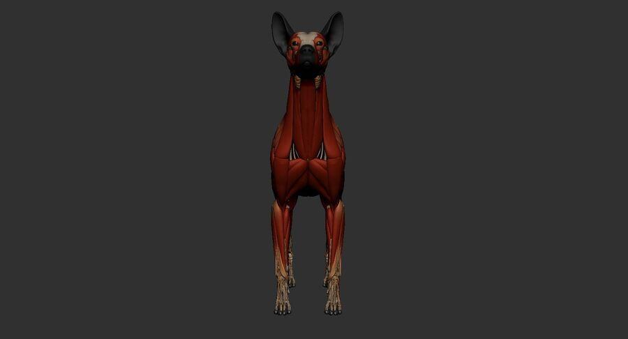 Meksikalı Tüysüz Köpek Anatomisi ve İskeleti royalty-free 3d model - Preview no. 28
