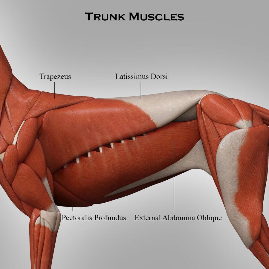 Meksikalı Tüysüz Köpek Anatomisi ve İskeleti royalty-free 3d model - Preview no. 8