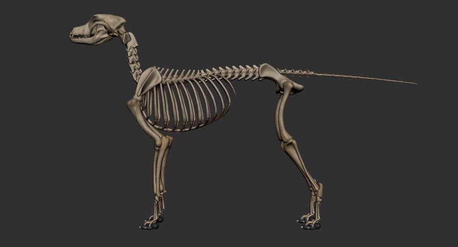 Meksikalı Tüysüz Köpek Anatomisi ve İskeleti royalty-free 3d model - Preview no. 38