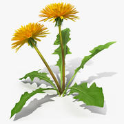 Fleur de pissenlit en fleurs 3d model