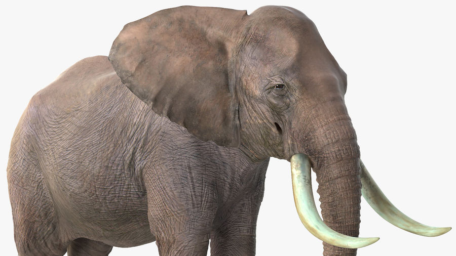 Animerad Elephant Waiting Rigged for Cinema 4D royalty-free 3d model - Preview no. 7