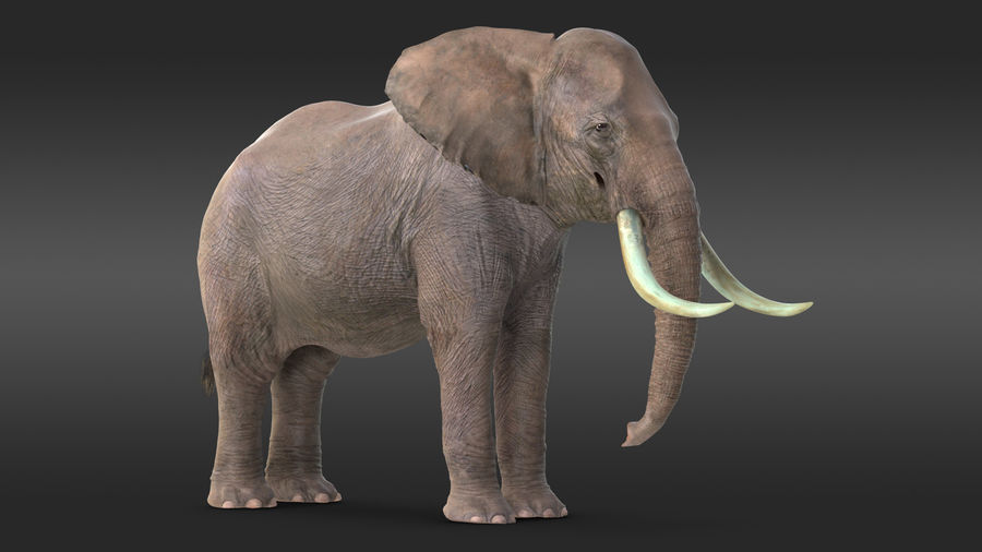 Animerad Elephant Waiting Rigged for Cinema 4D royalty-free 3d model - Preview no. 3