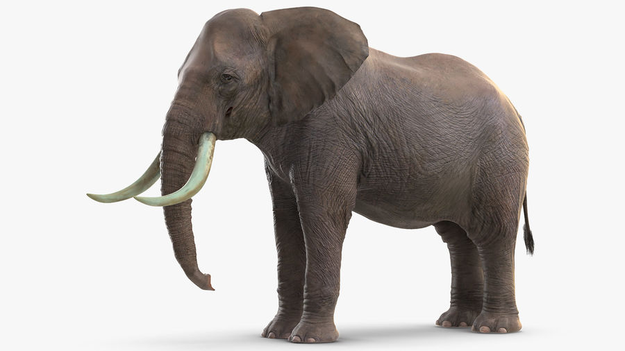 Animerad Elephant Waiting Rigged for Cinema 4D royalty-free 3d model - Preview no. 4