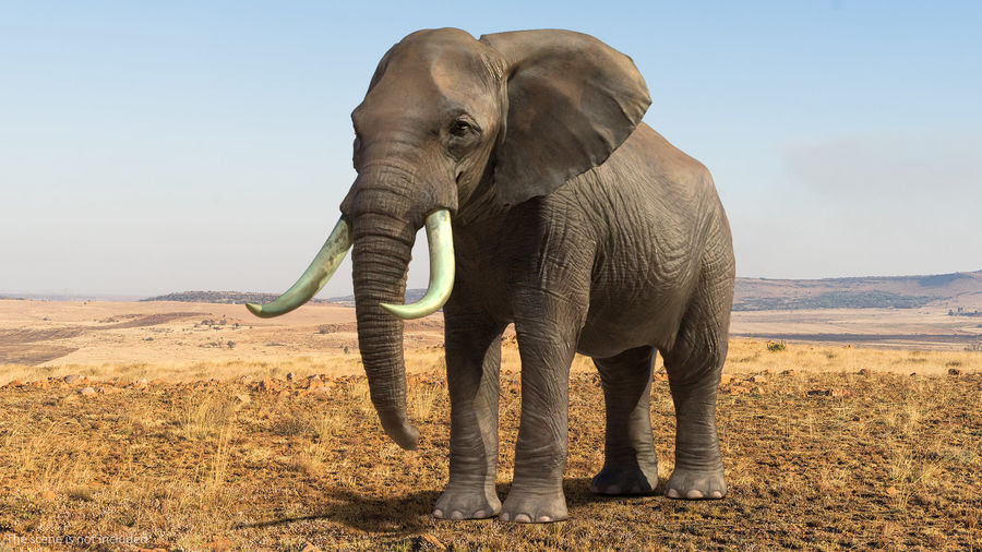 Animerad Elephant Waiting Rigged for Cinema 4D royalty-free 3d model - Preview no. 2