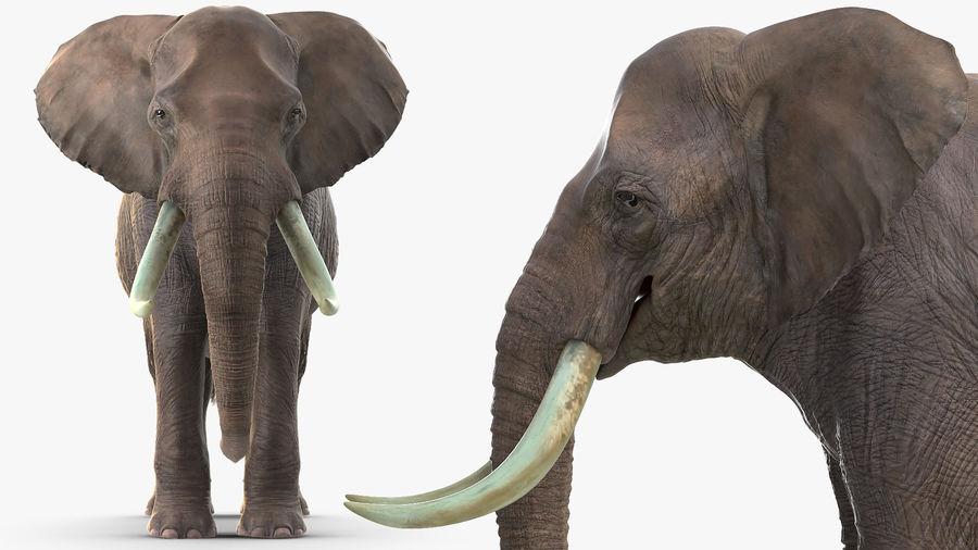 Animerad Elephant Waiting Rigged for Cinema 4D royalty-free 3d model - Preview no. 9