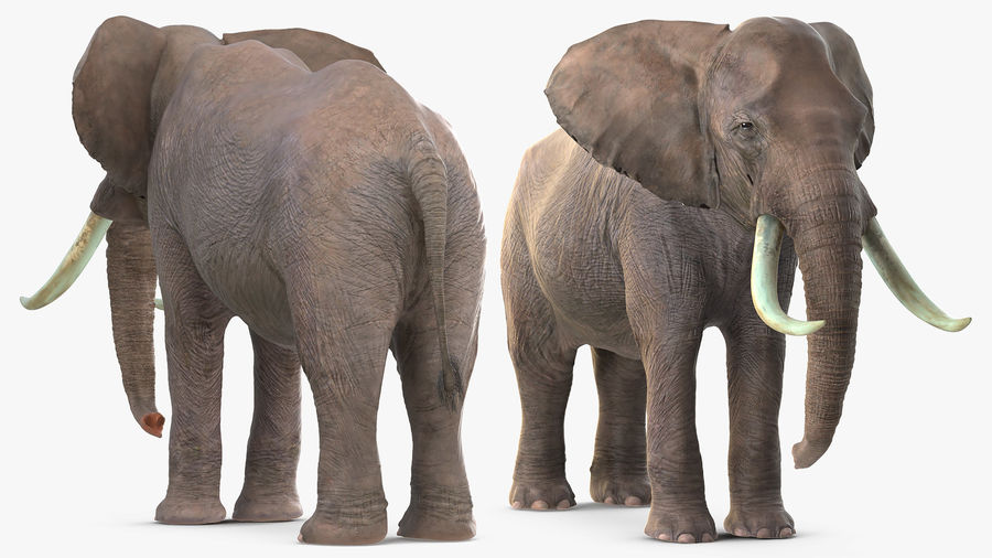 Animerad Elephant Waiting Rigged for Cinema 4D royalty-free 3d model - Preview no. 6