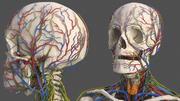 男性骨骼心血管淋巴神经系统和皮肤 3d model