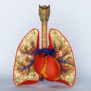 lungor luftstrupe och hjärta 3d model