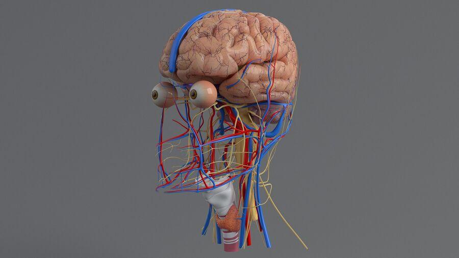 人間の頭の解剖学 royalty-free 3d model - Preview no. 21