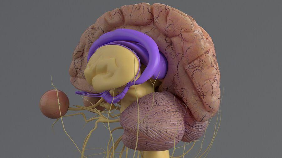 人間の頭の解剖学 royalty-free 3d model - Preview no. 38