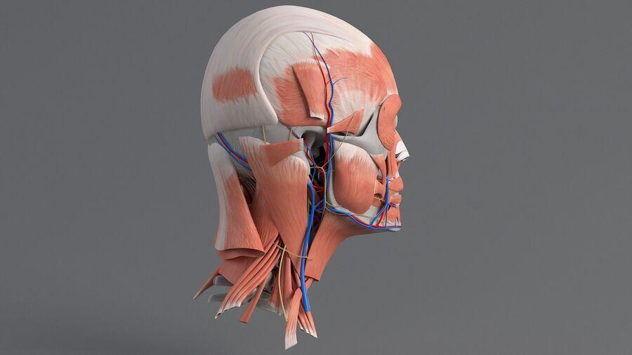 人間の頭の解剖学 royalty-free 3d model - Preview no. 10