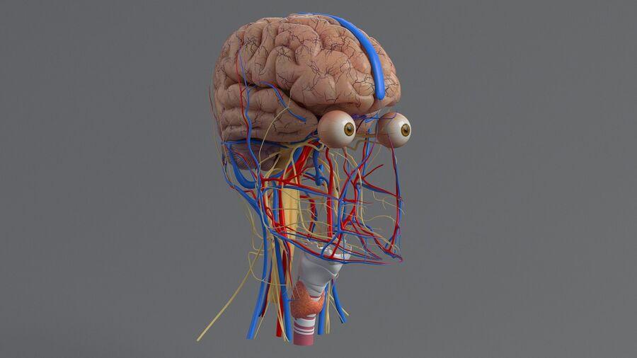 人間の頭の解剖学 royalty-free 3d model - Preview no. 23