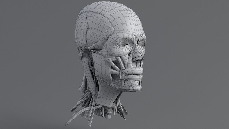 人間の頭の解剖学 royalty-free 3d model - Preview no. 46