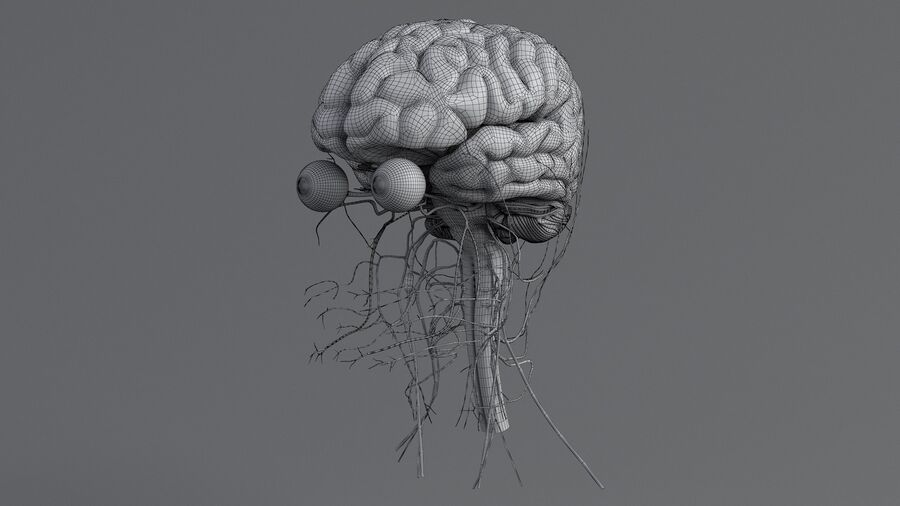 人間の頭の解剖学 royalty-free 3d model - Preview no. 64