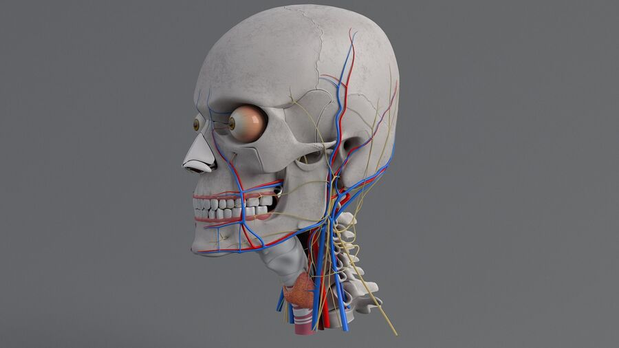 人間の頭の解剖学 royalty-free 3d model - Preview no. 20