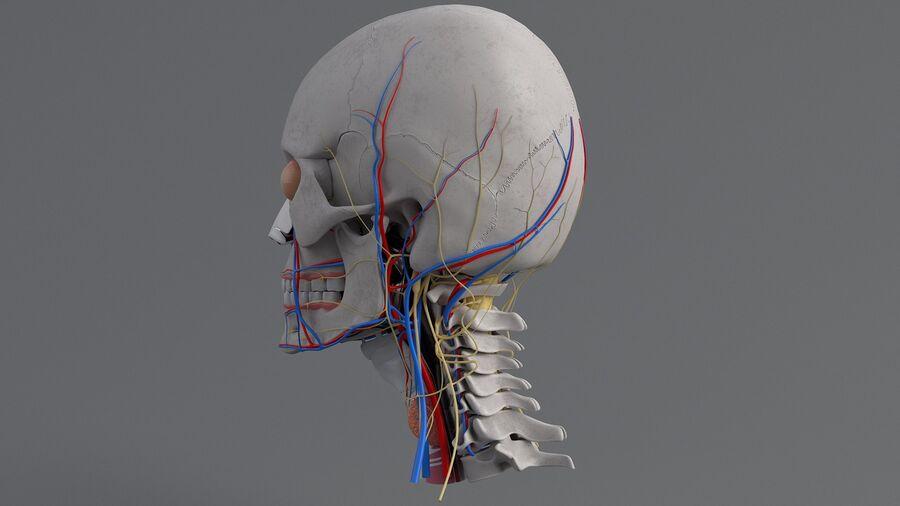 人間の頭の解剖学 royalty-free 3d model - Preview no. 19