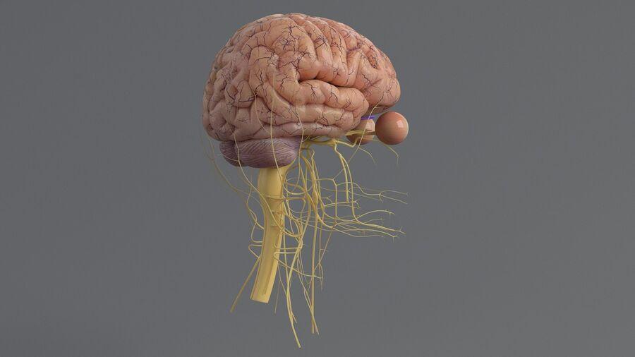 人間の頭の解剖学 royalty-free 3d model - Preview no. 30