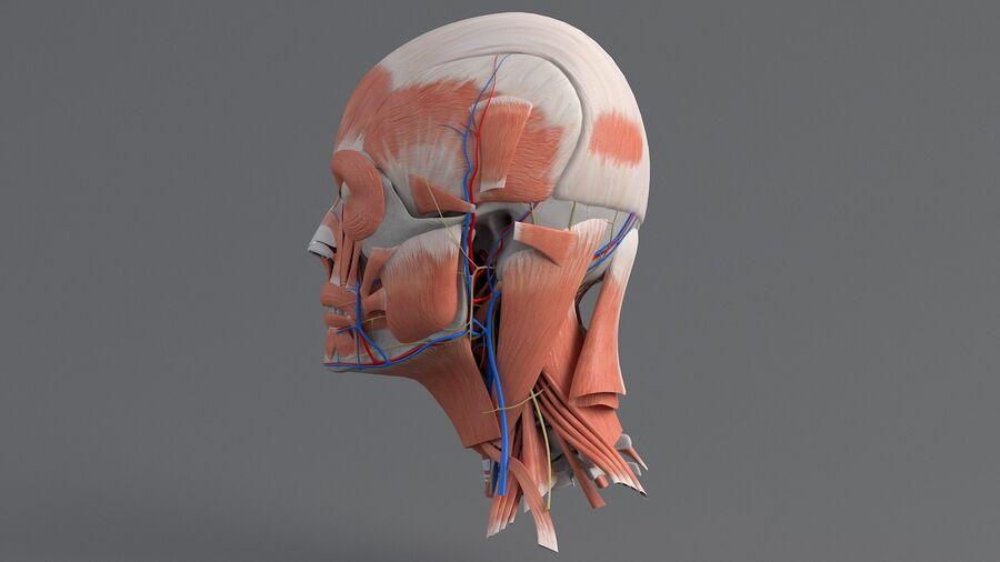 人間の頭の解剖学 royalty-free 3d model - Preview no. 12